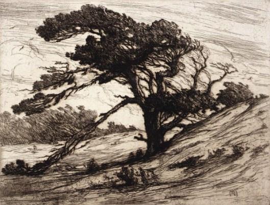 A Windswept Pine