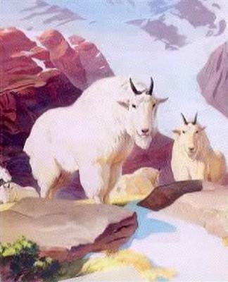 Rocky Mountains Sheep